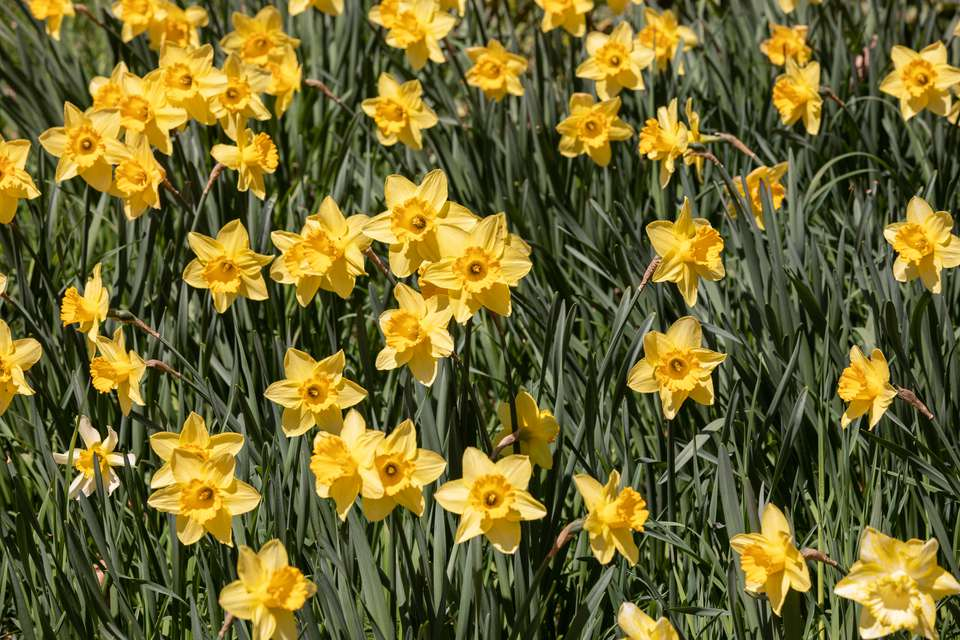 Yellow daffodil flowers with trumpet shaped petals in sunlight