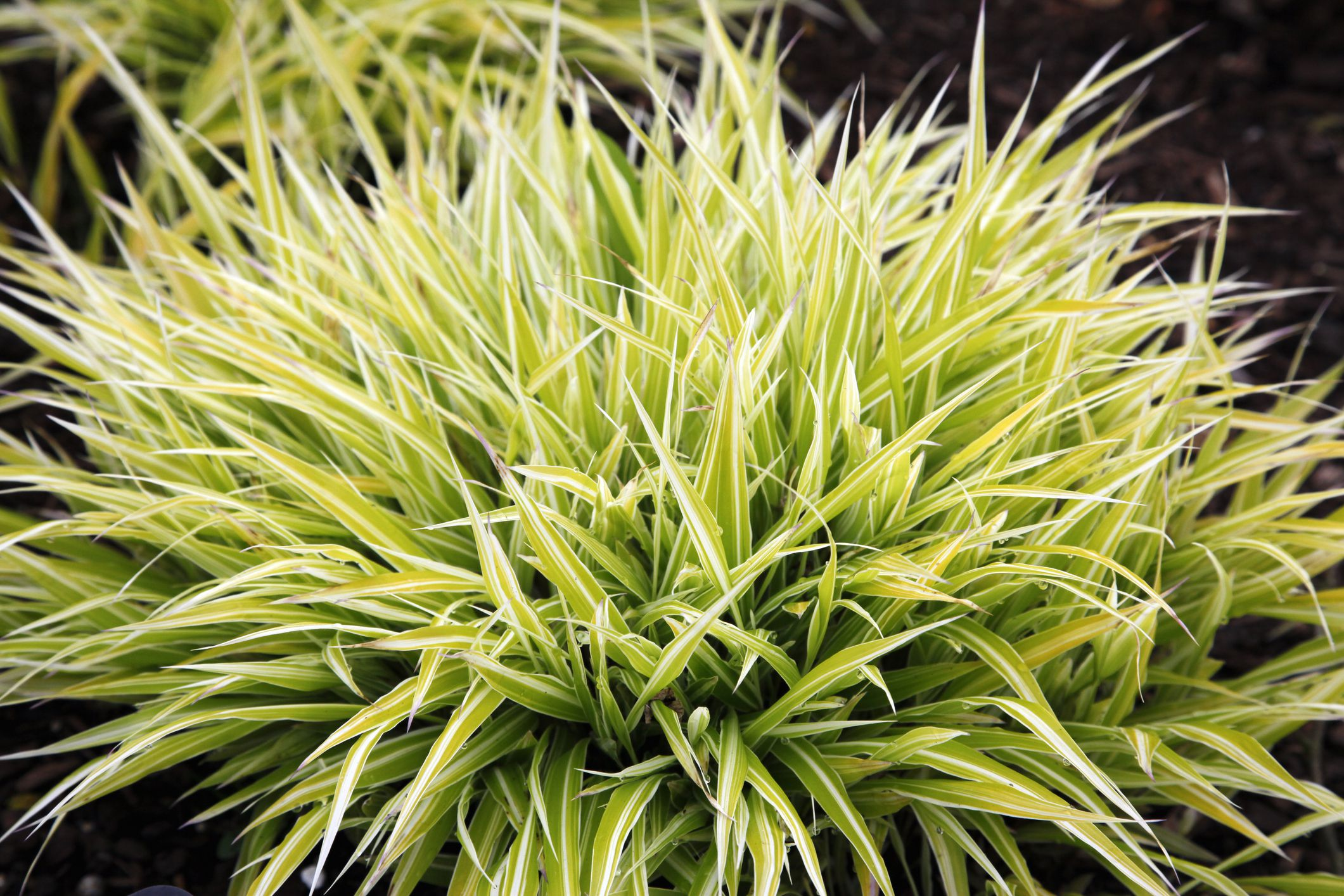 How To Grow And Care For Japanese Forest Grass