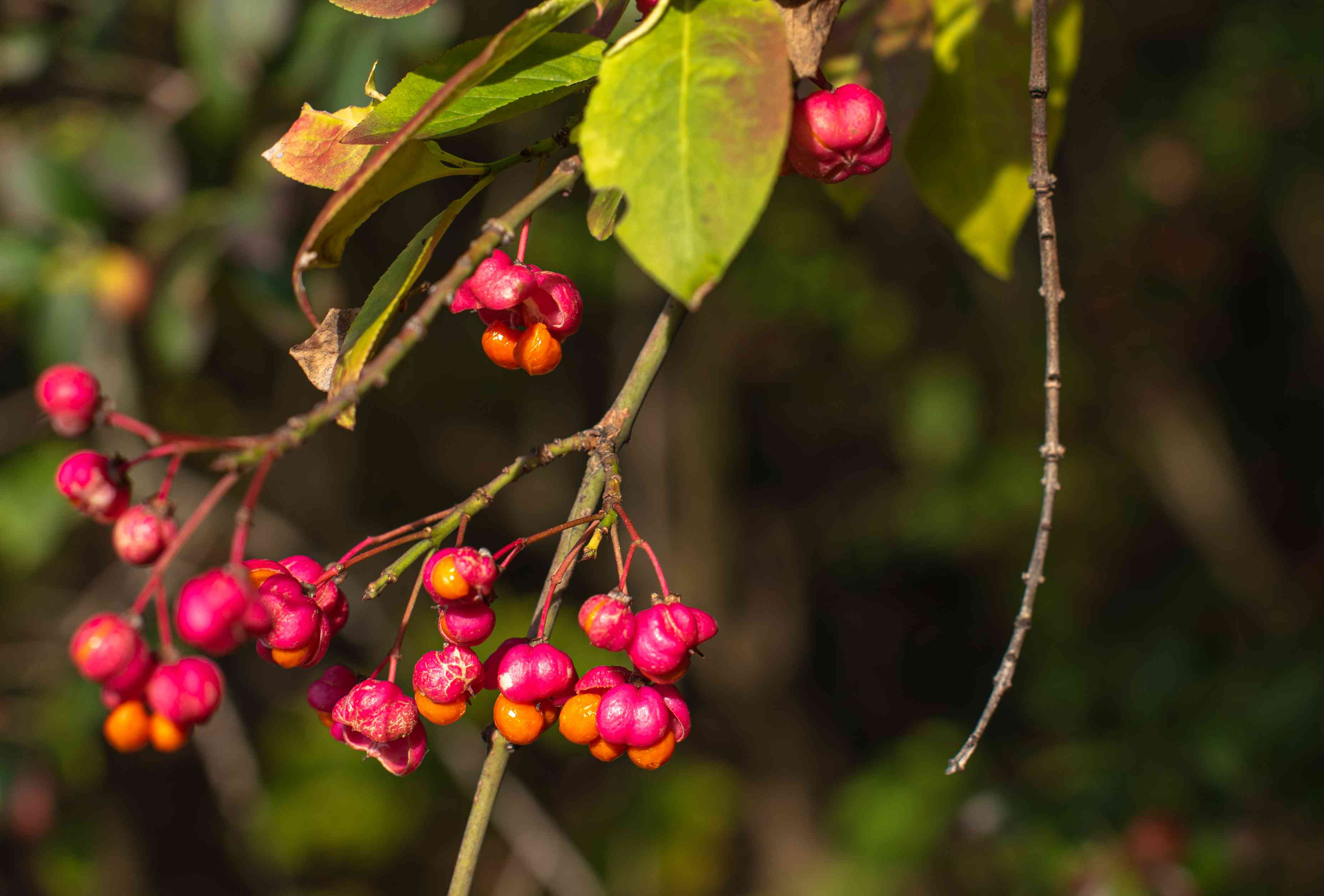 European spindle tree branch with fuchsia colored berries closeup