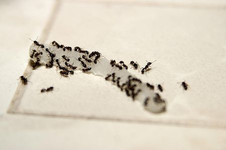 How to Get Rid of Stinky Odorous House Ants