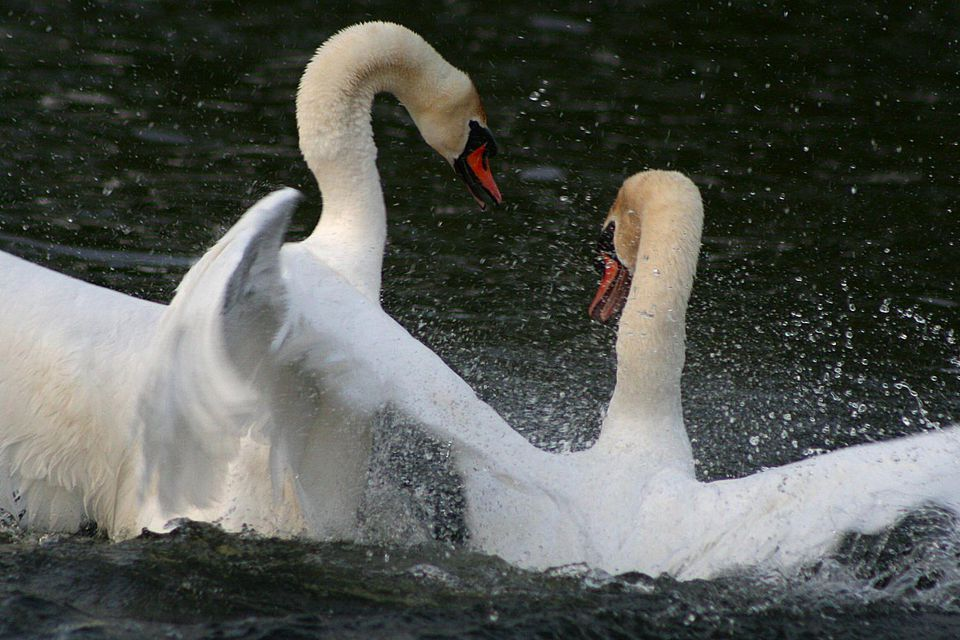 Two swans fighting in the water.