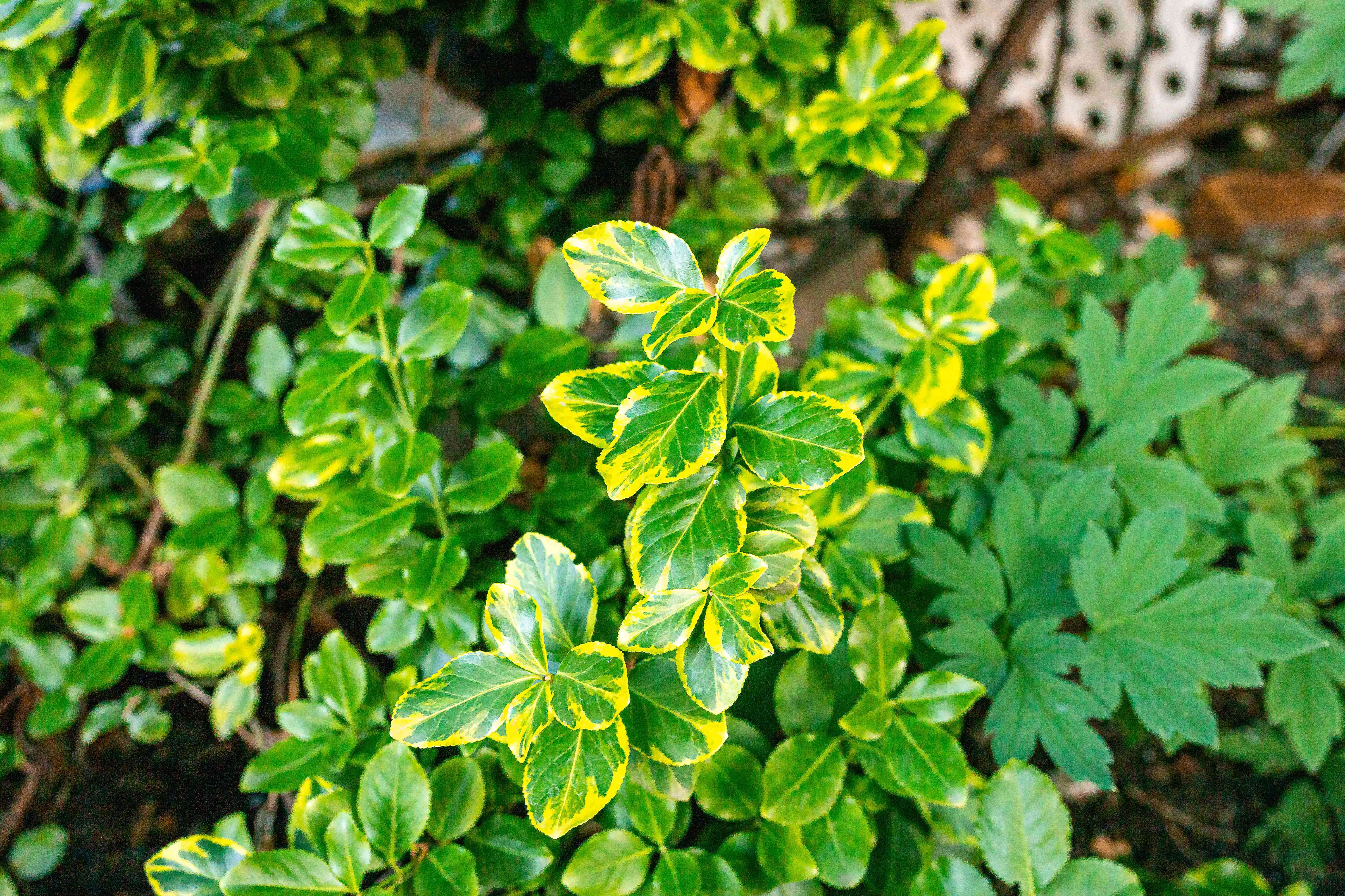 emerald n gold euonymus