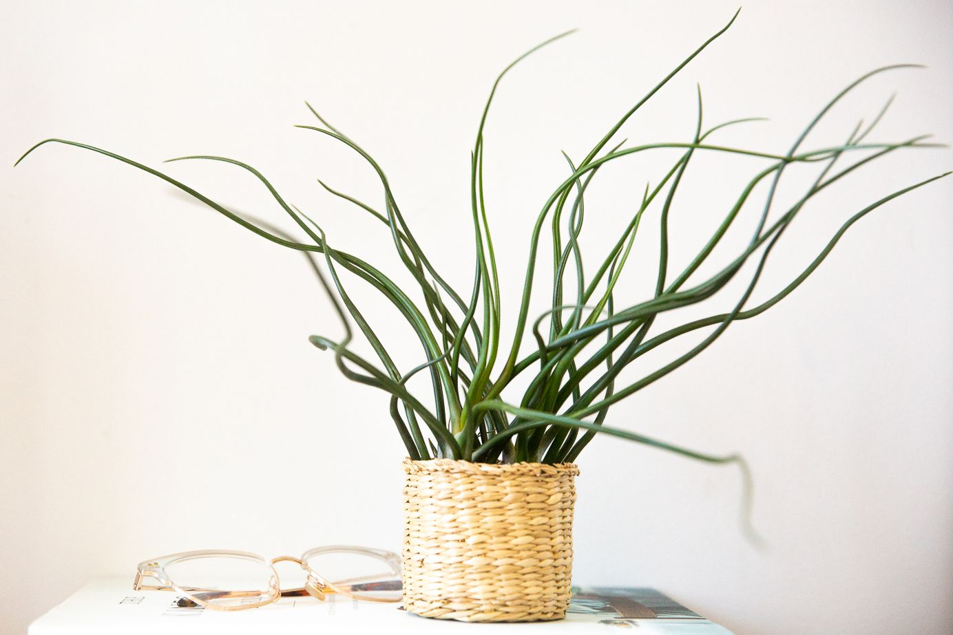 Bulbous air plants displayed in small woven container