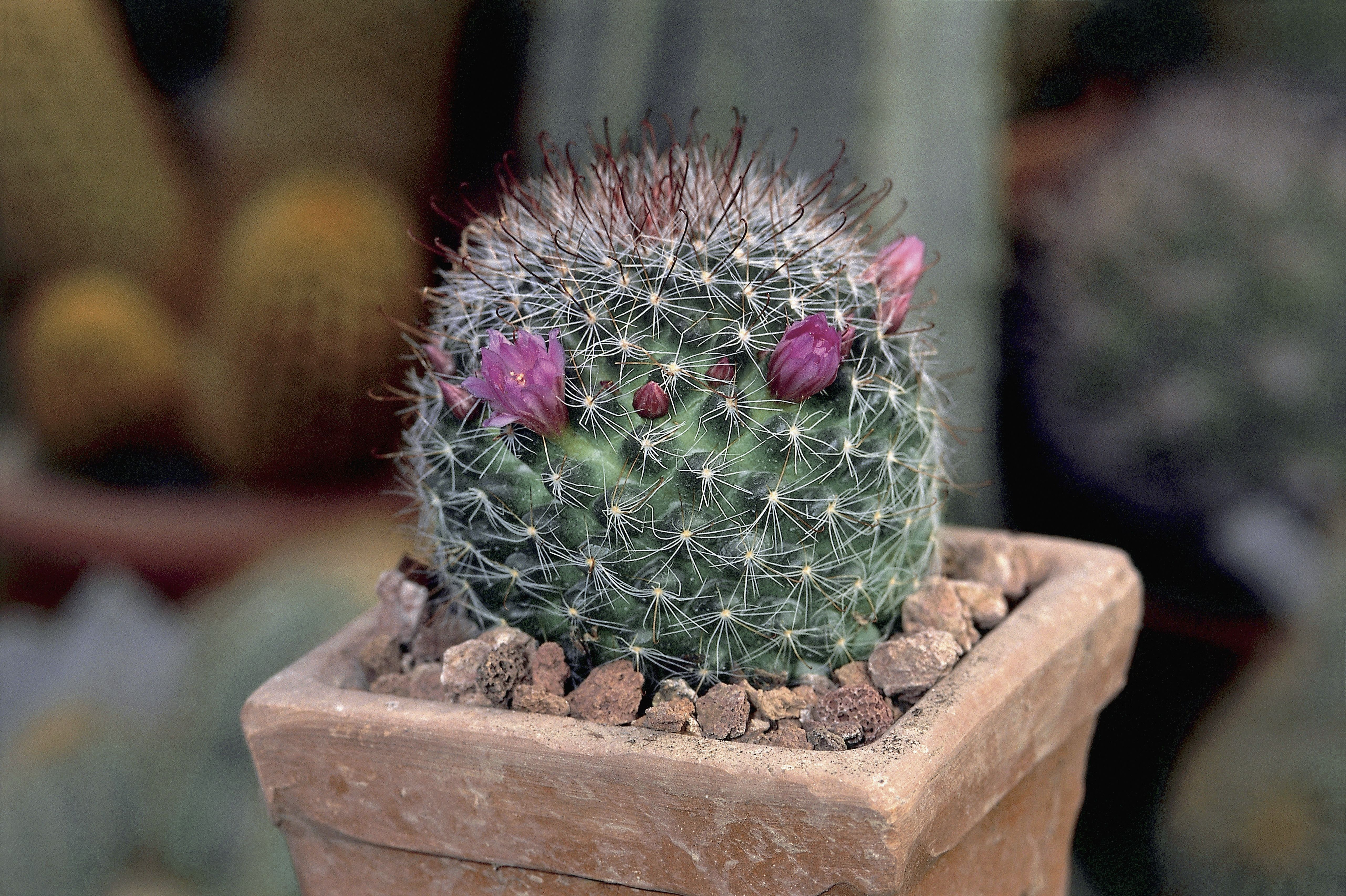 How To Grow A Showy Powder Puff Cacti Plant