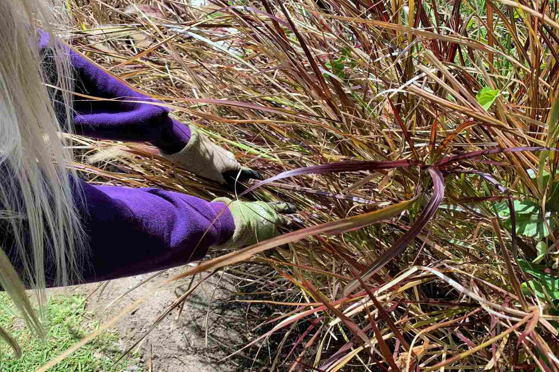 grooming ornamental grasses