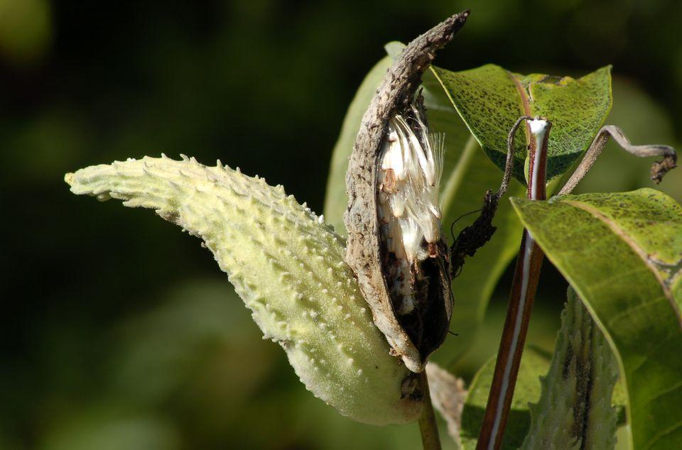 Picture of milkweed seed pod