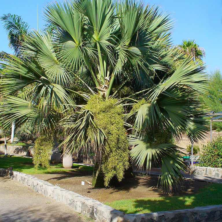 A large cabbage palm with many green fronds