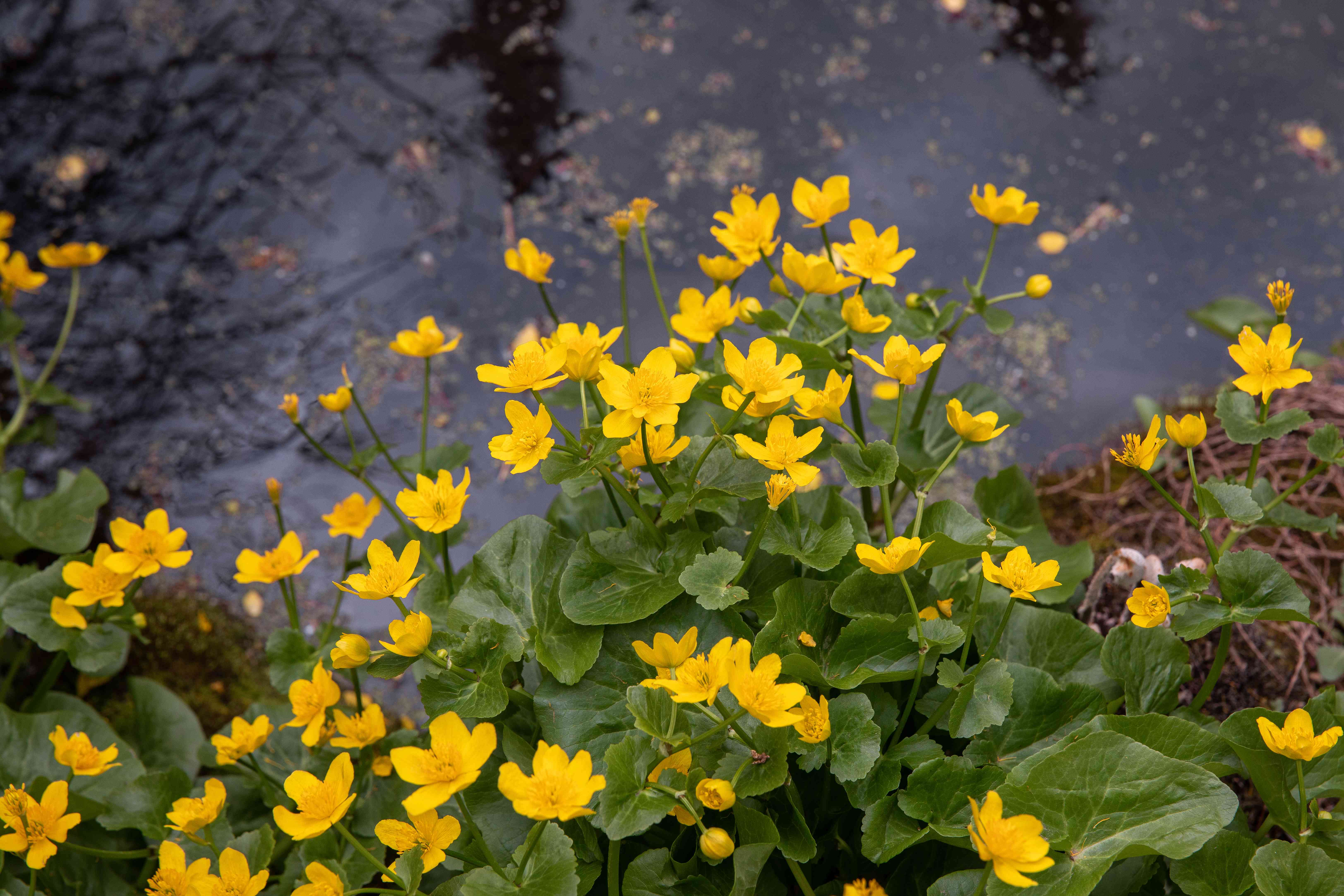 Marsh marigold plant with yellow sepals and buds next to wet paved road