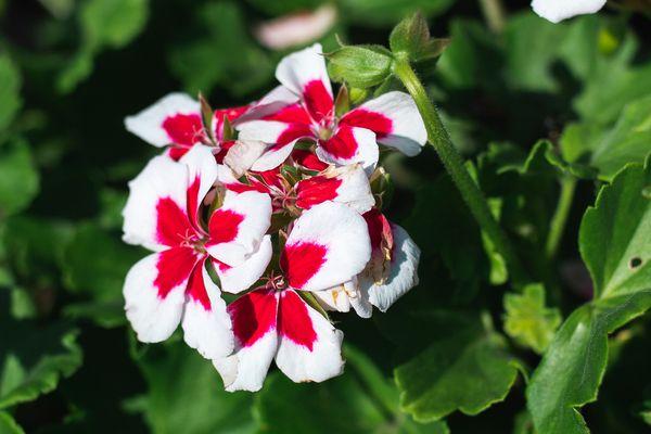 variegated geranium flowers