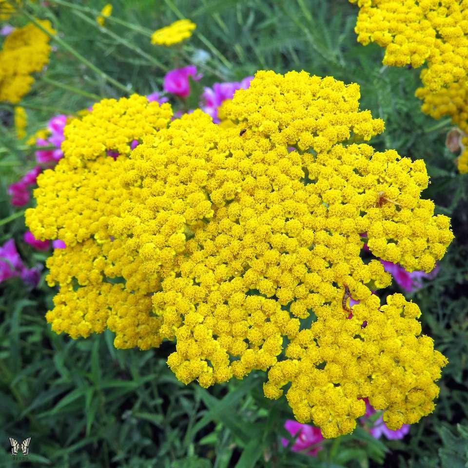 12 low maintenance perennial plants achillea mightylinksfo