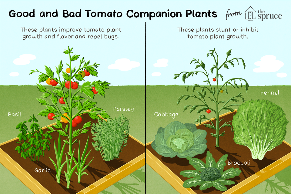Illustration of good and bad plants for tomatoes