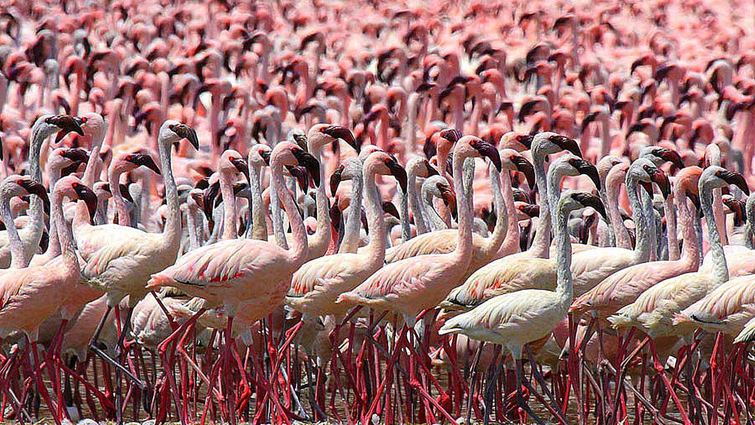 Where To See Flamingos In The Wild