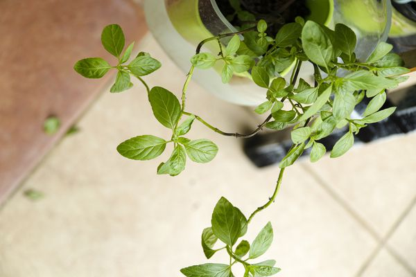 mint in a hanging basket