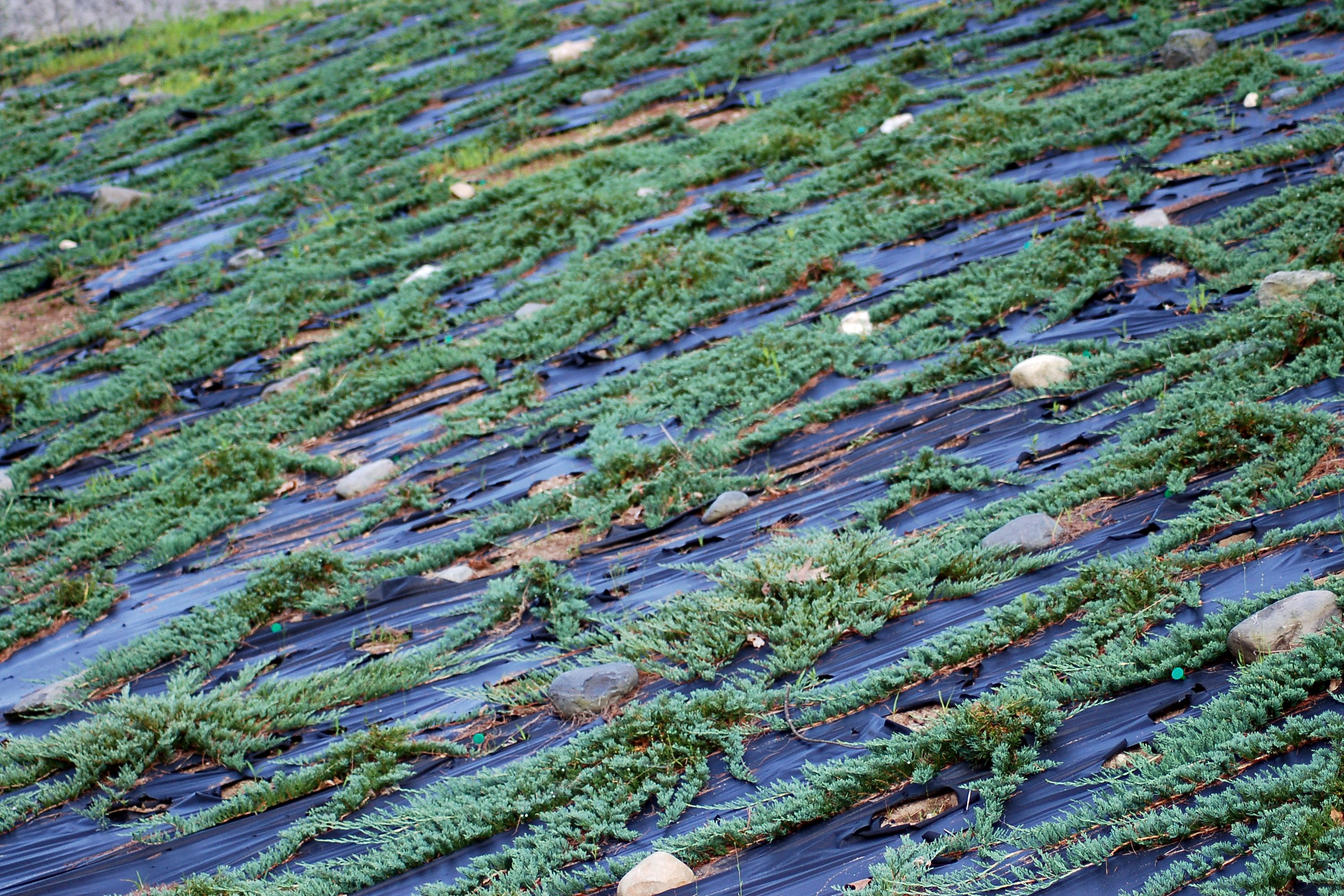 Wilton's Carpet (photo) is a type of creeping juniper.