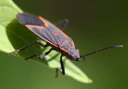Keep Boxelder Bugs Out Of Your Home