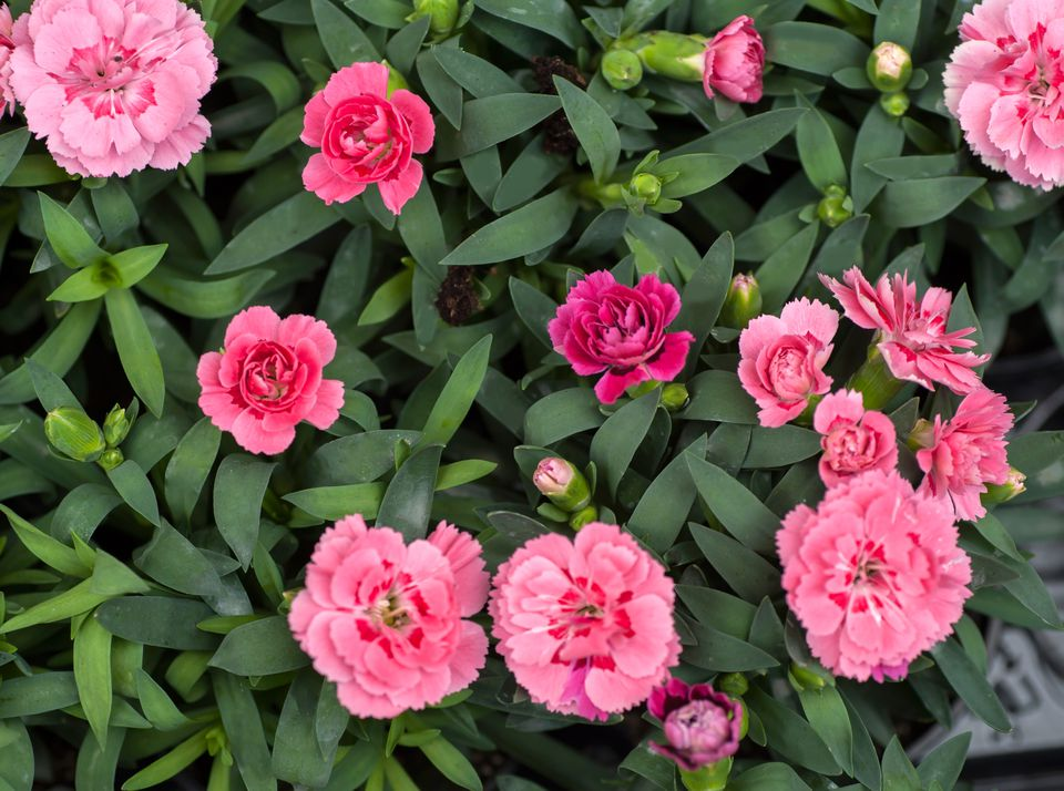 Pink carnation flowers in between leaves and buds from above