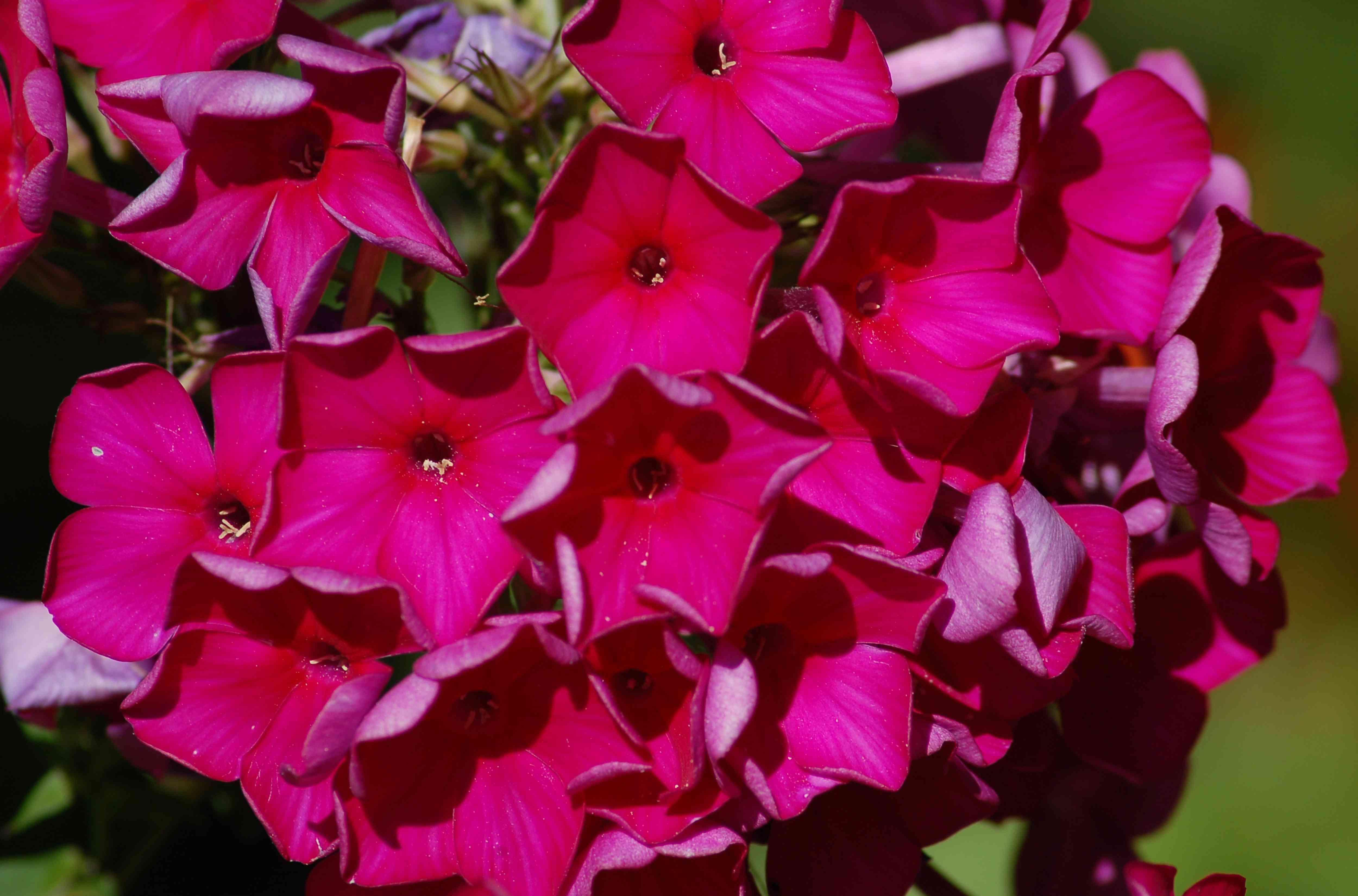 Closeup of Red Magic phlox flowers.