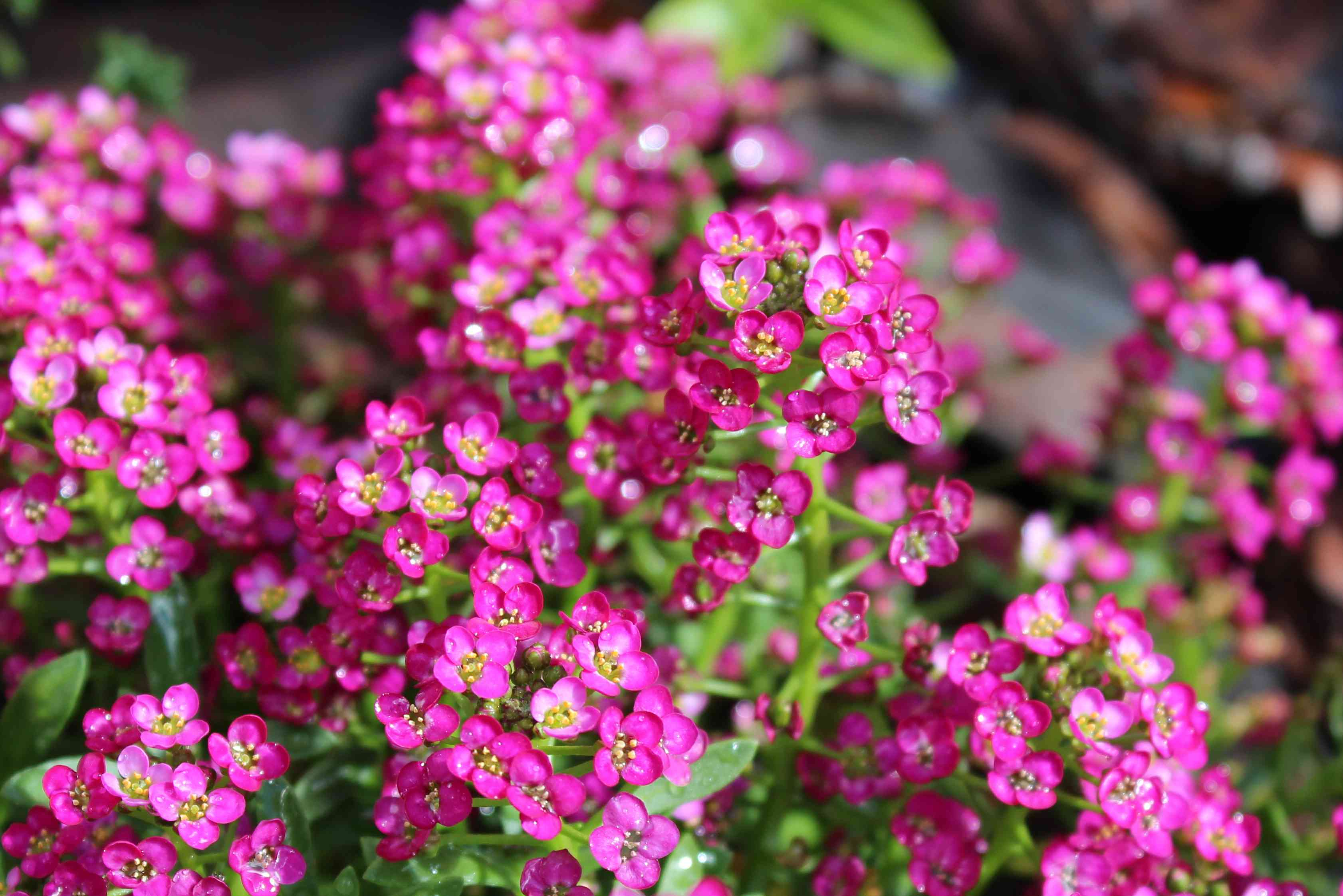 Blossoms of Deep Pink Alyssum