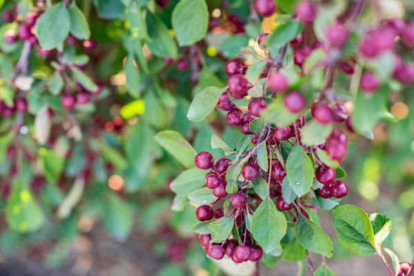 Red chokeberry shrub branch with deep red berries hanging with oblong leaves closeup