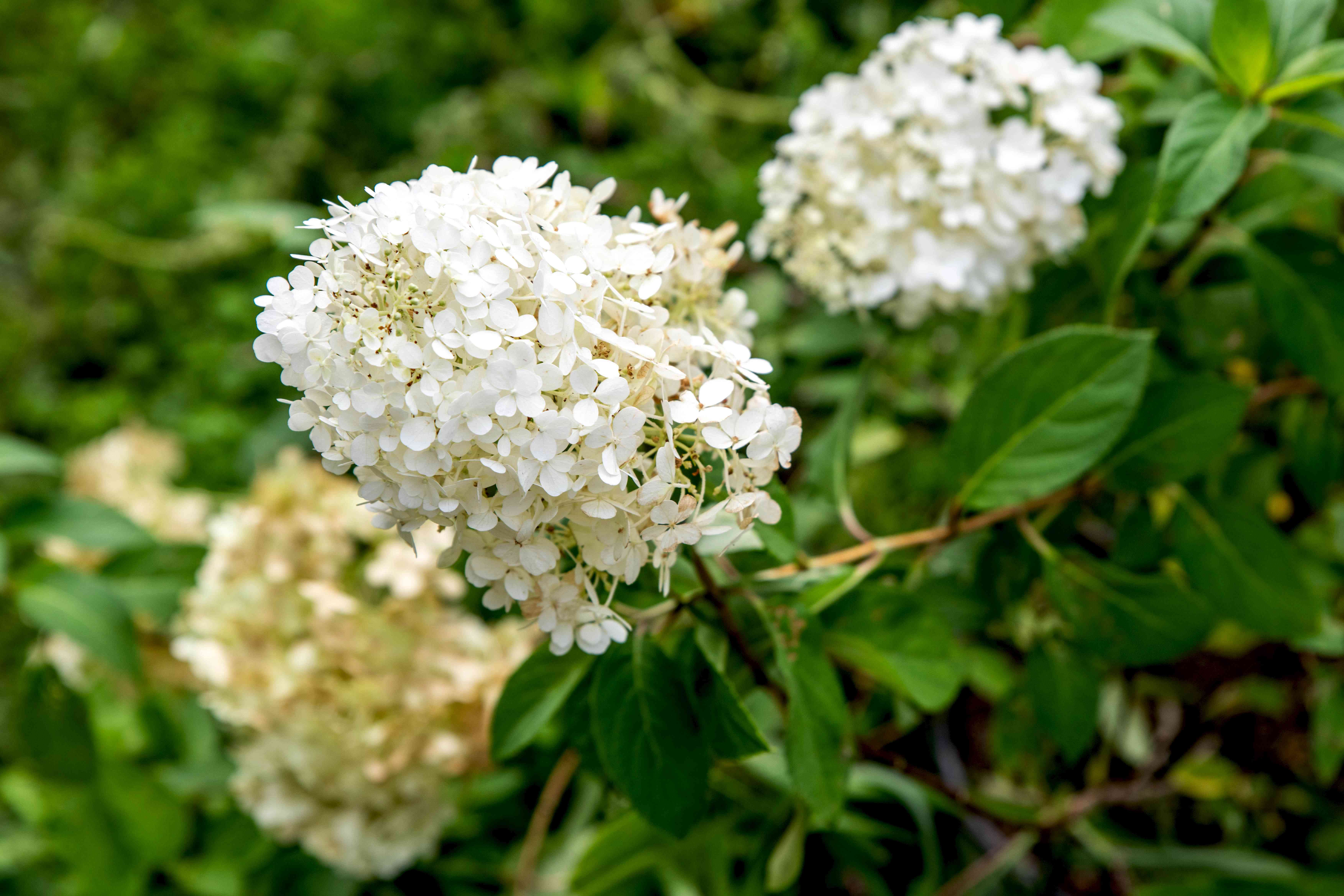 Bobo hydrangea shrub with white flower panicles on end fo branches with oval leaves