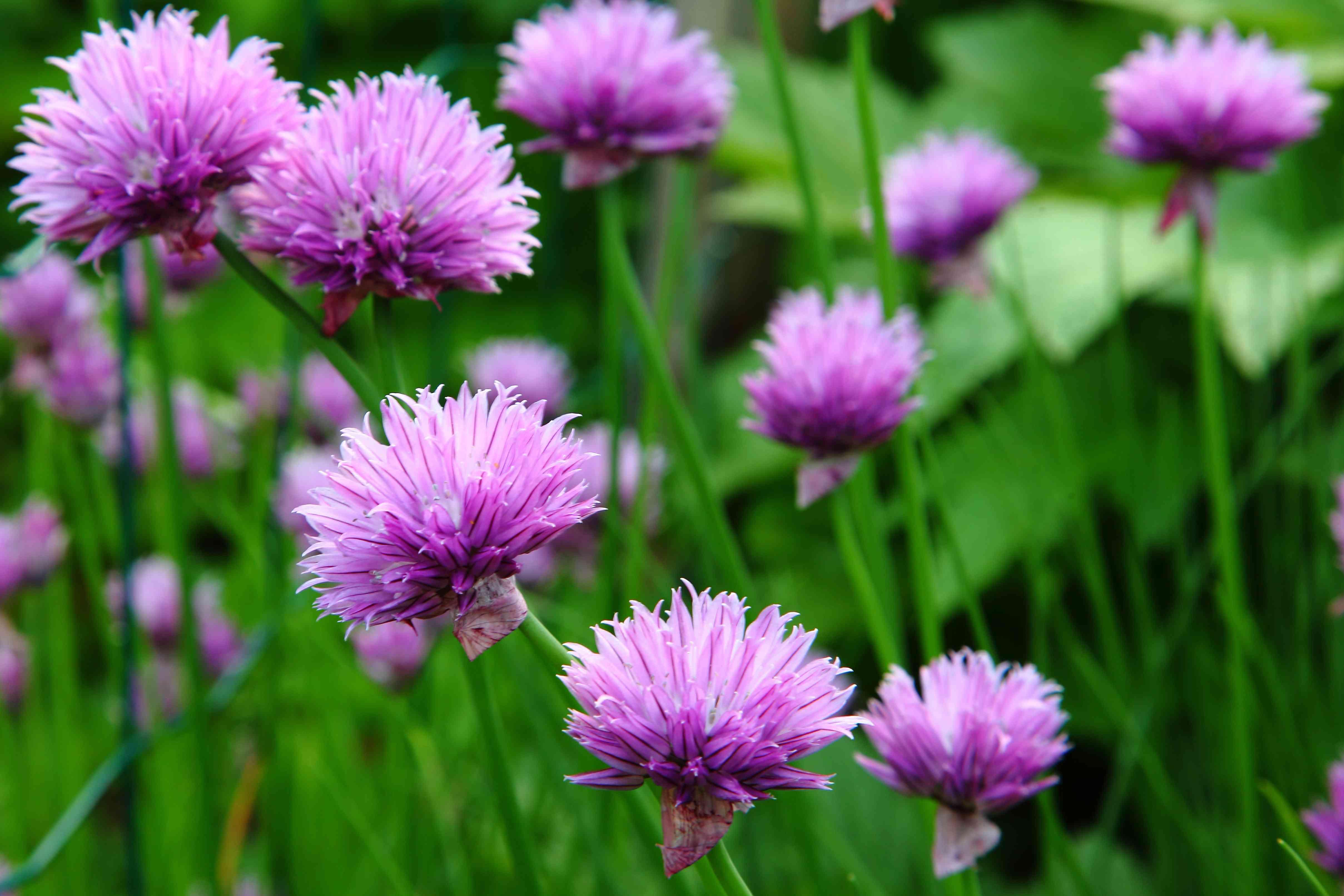 Chive flower macro