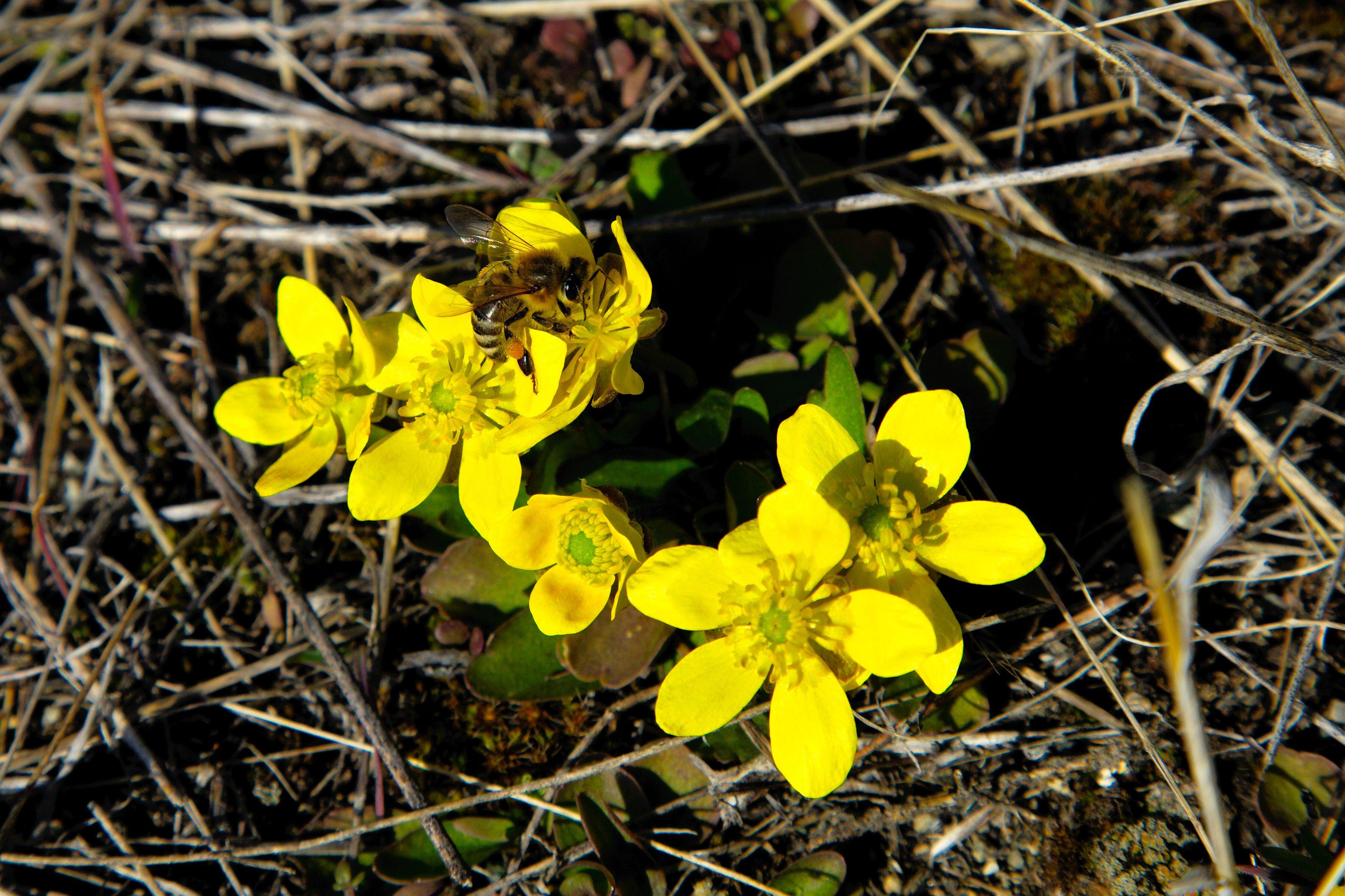 Sagebrush buttercup (Ranunculus glaberrimus)