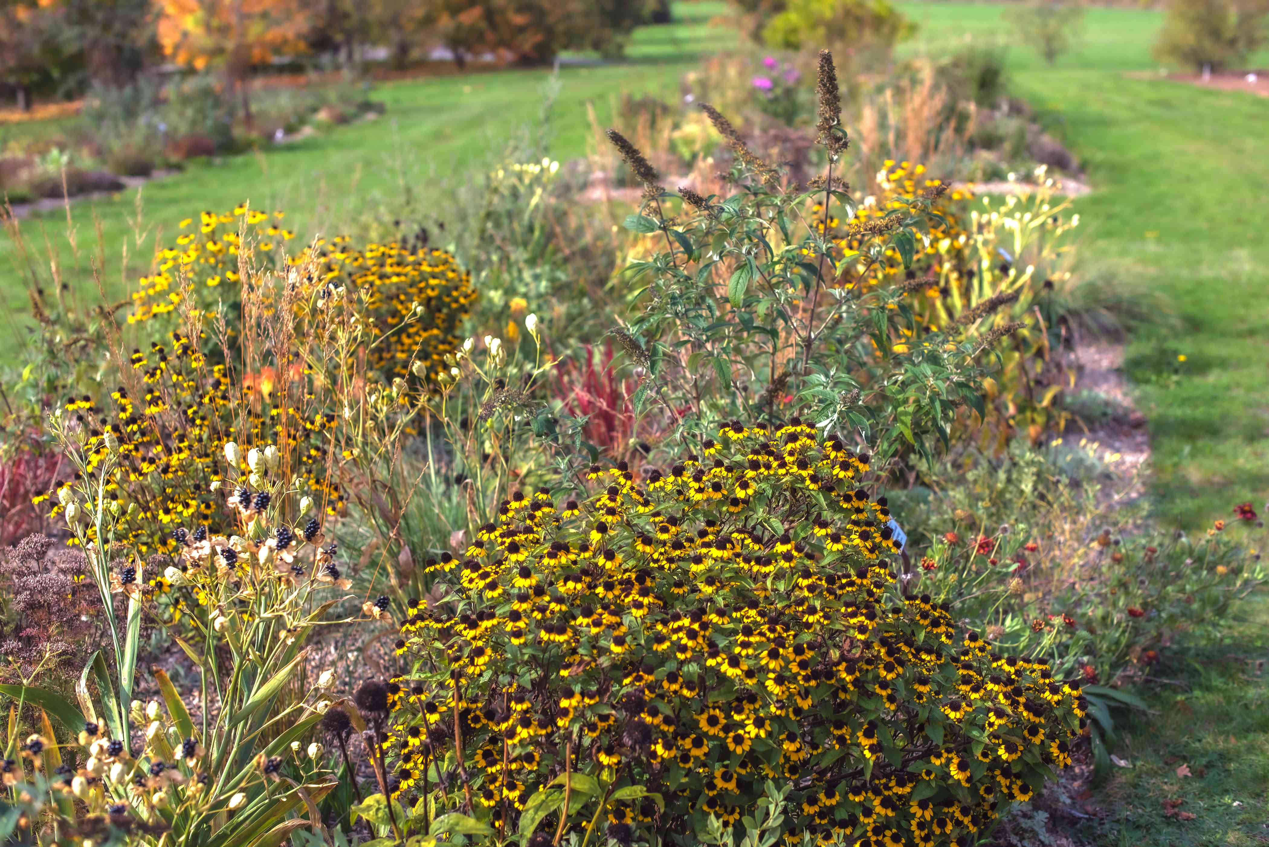 Brown-eyed susan wildflowers clustered on thin stems and small yellows flowers in flower garden