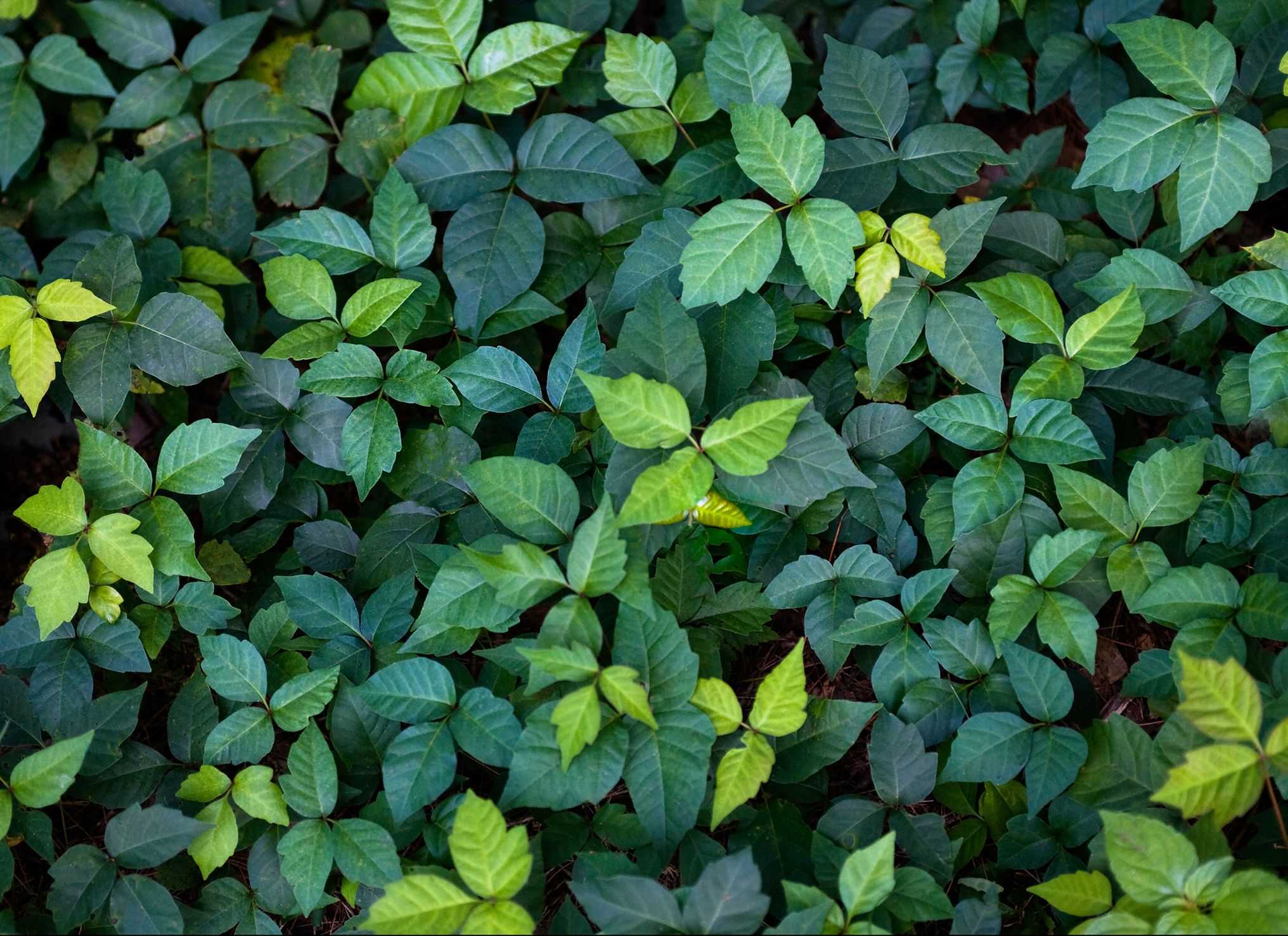 Itchy Rash Plants Identify These Weeds To Avoid Them