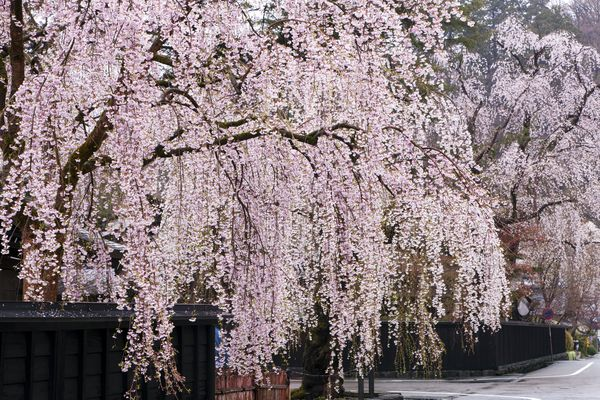 Weeping cherry trees with light pink flowers.