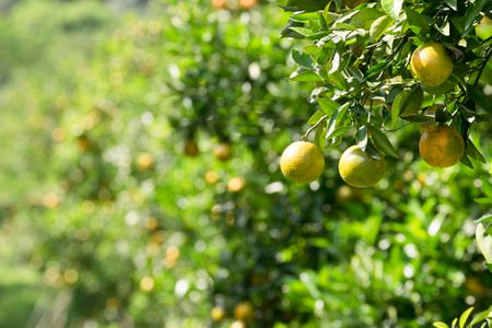 Common Citrus Fruits and Where They Grow
