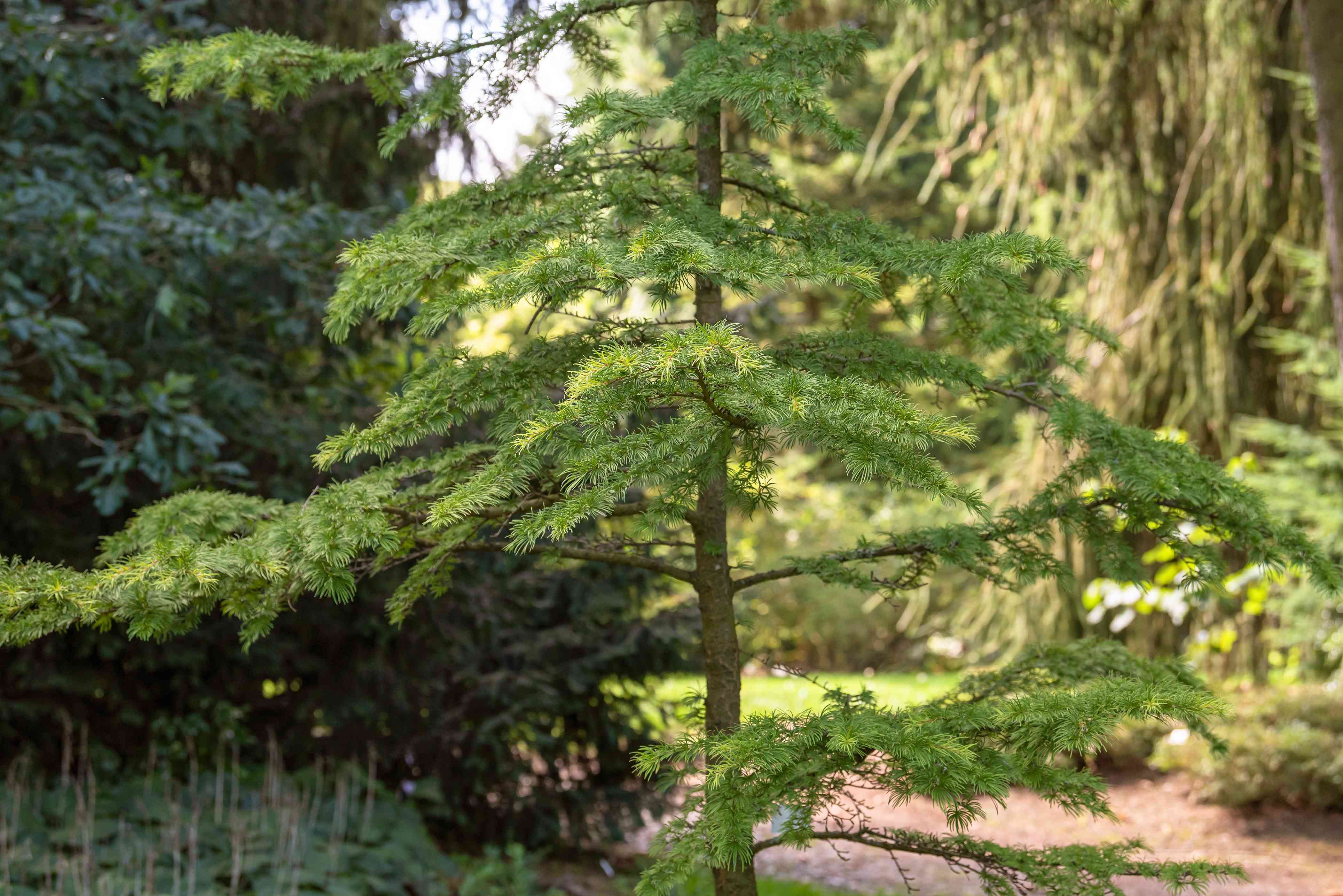 Golden larch tree with thin trunk and small green needles on branches