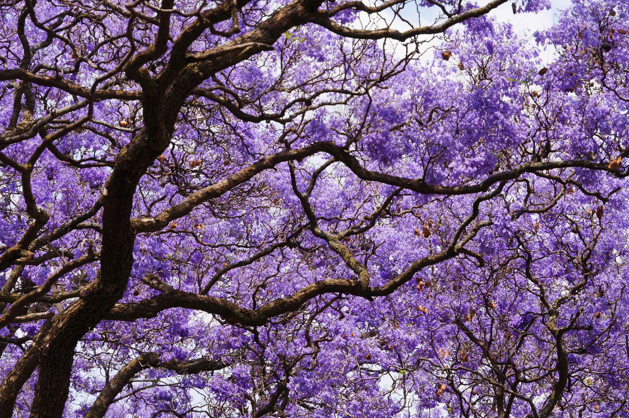Jacaranda Tree: Care and Growing Guide