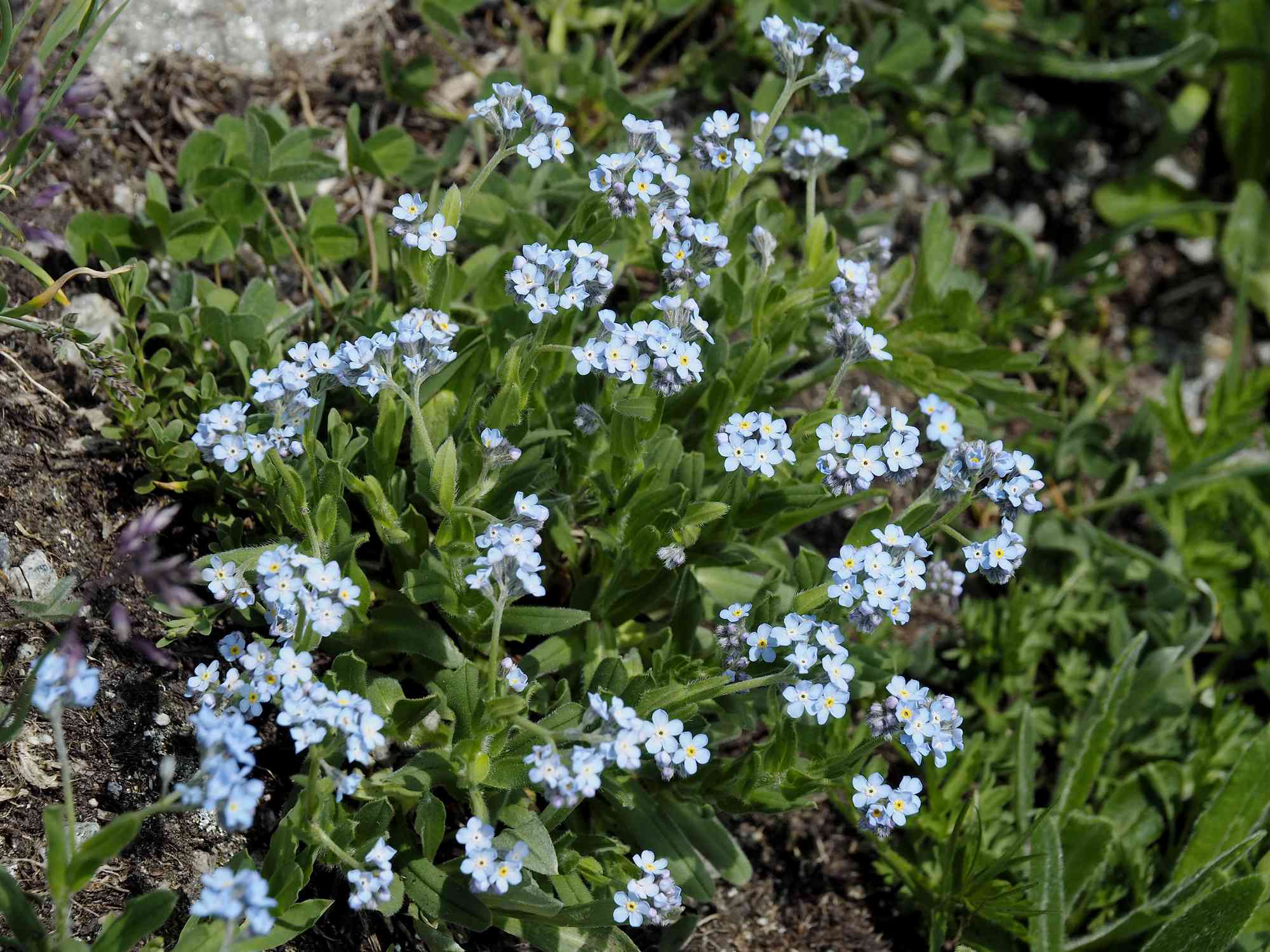 forget-me-not patch
