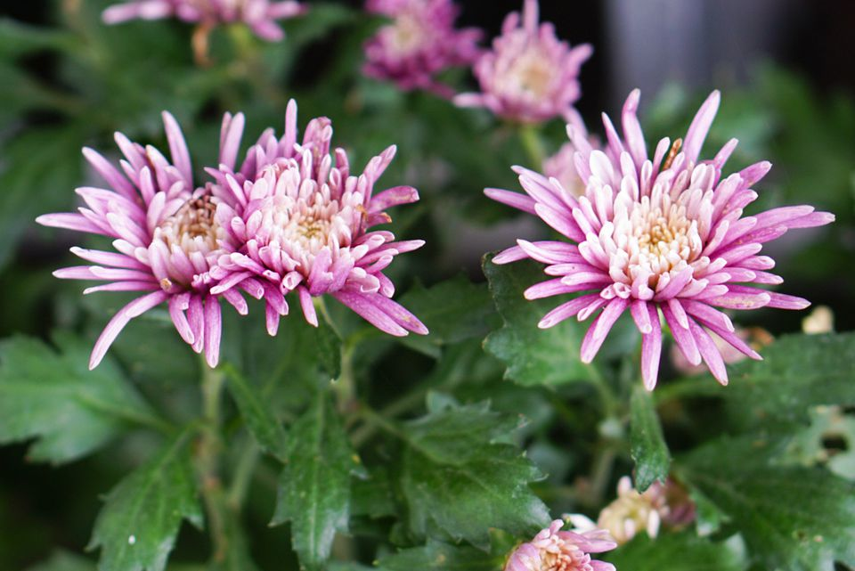 Spider mum plants with pink tubular petals and white centers