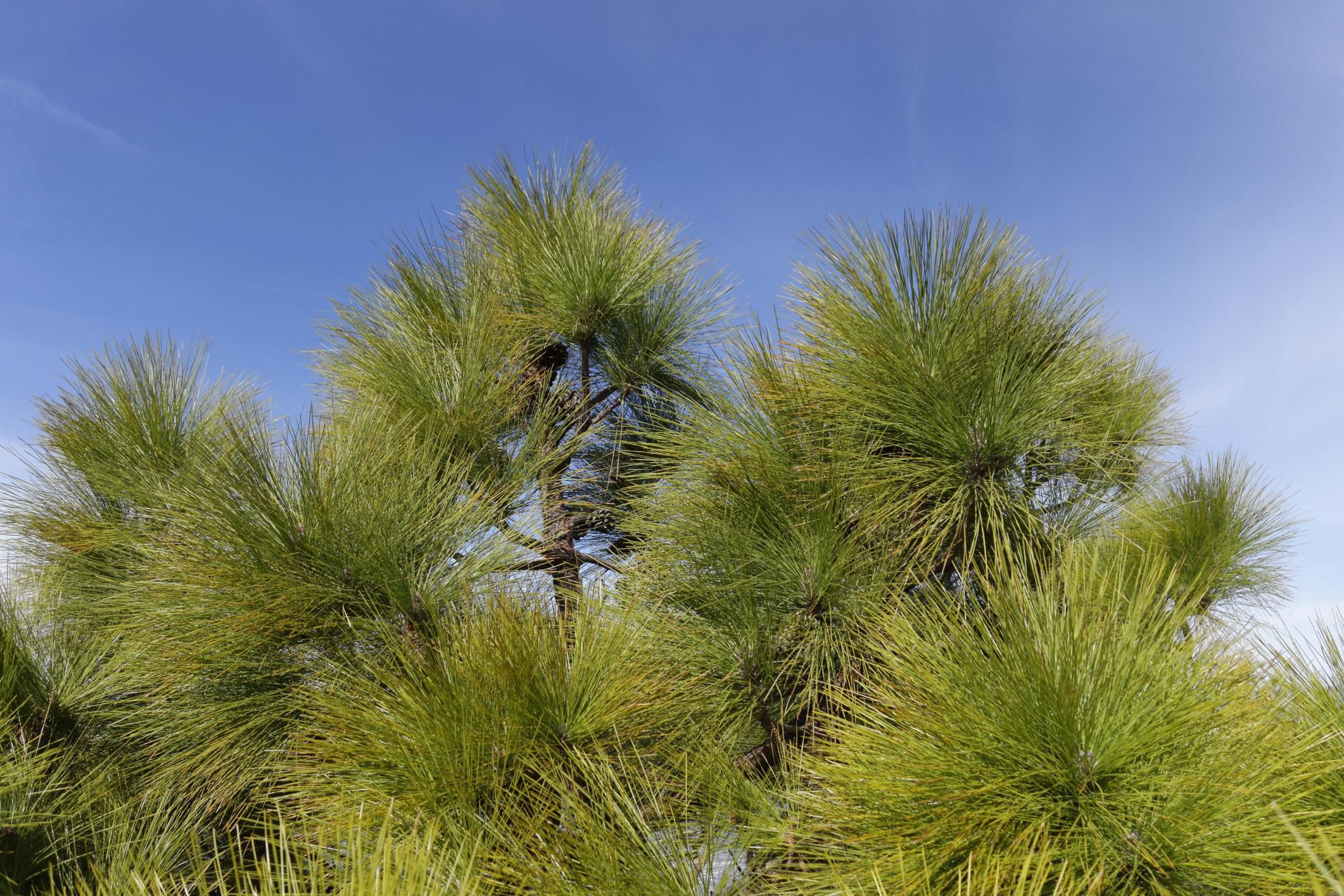 Tips For Growing Canary Island Pine