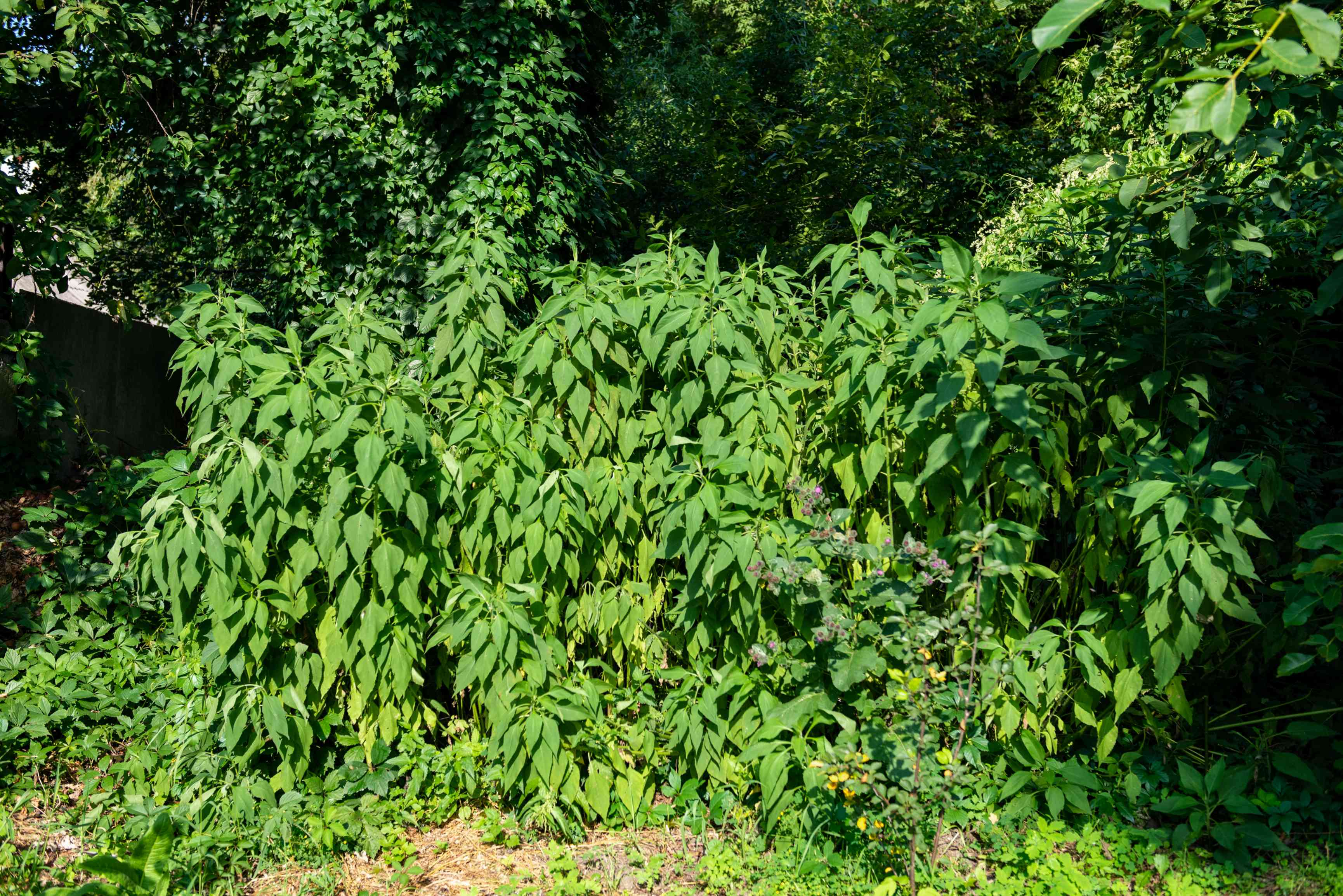Jerusalem artichoke plant growing on tall stems with bright green arrow-shaped leaves in sunlight
