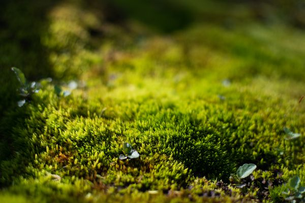 Bright green moss with tin leaves on top closeup