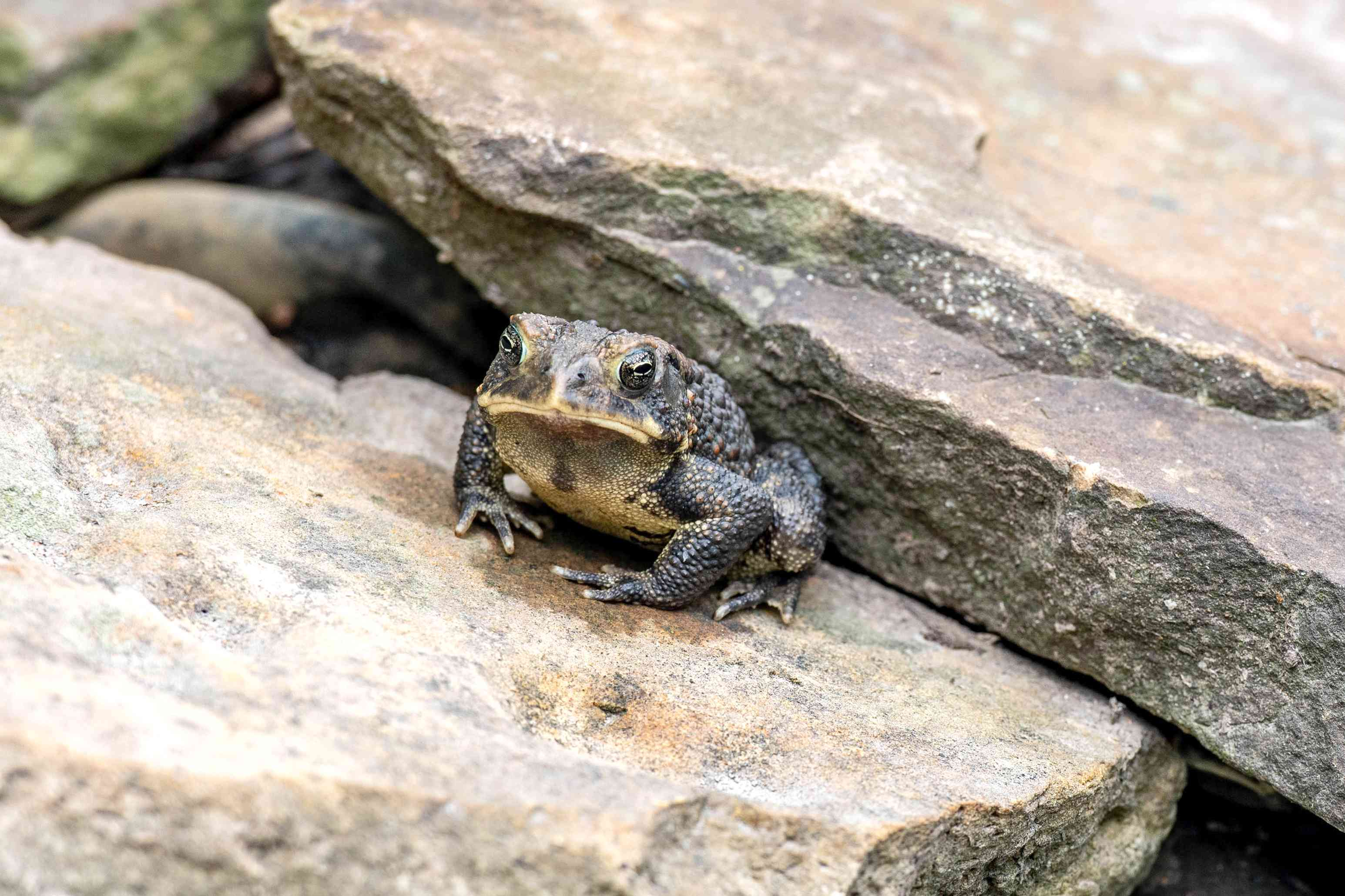 Black and yellow toad sitting on rock slabs