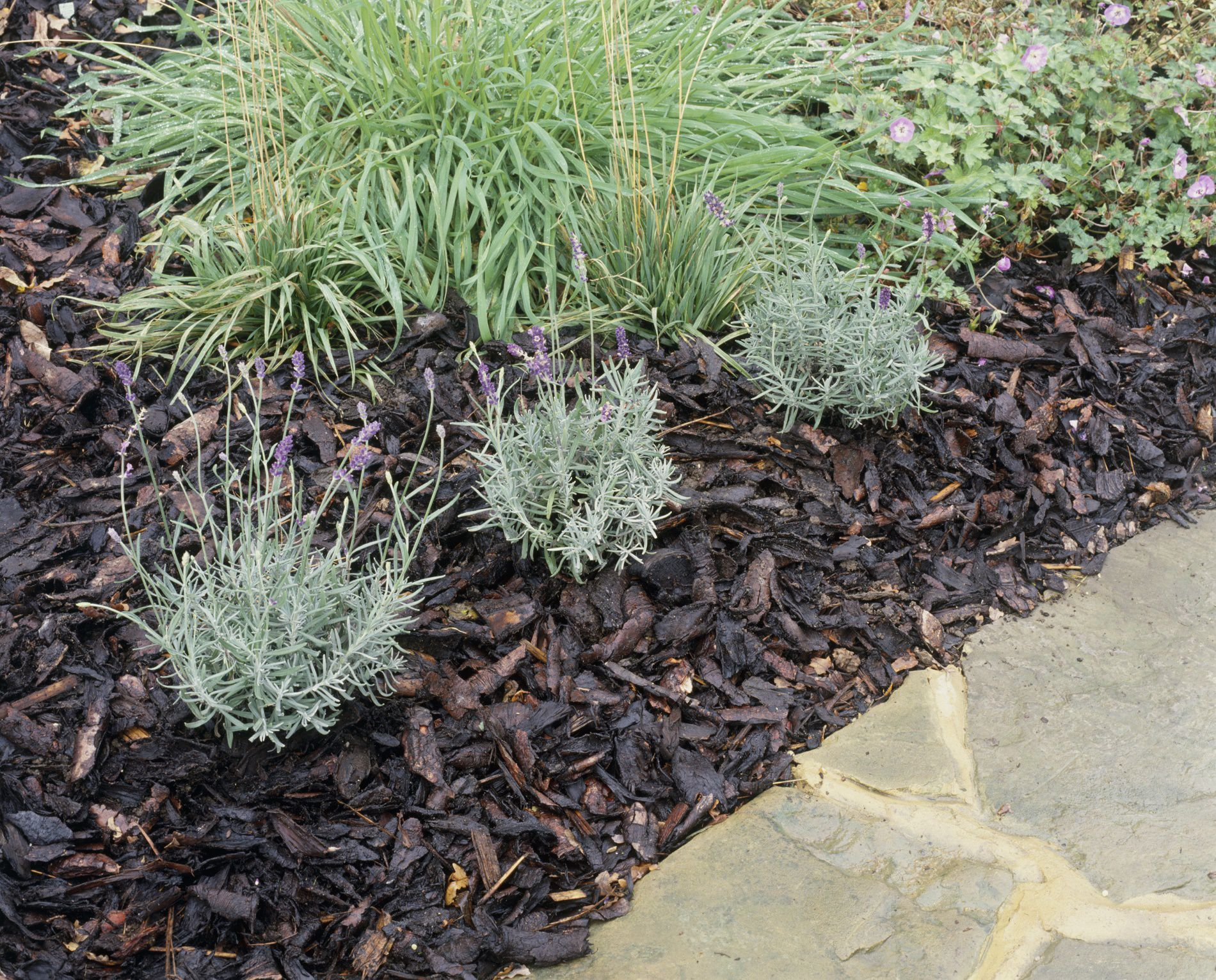 mulch with lavender