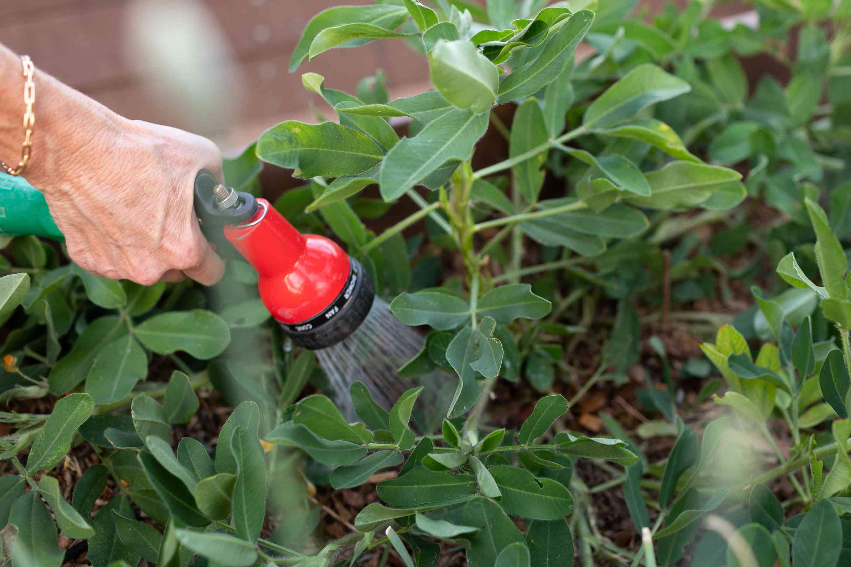 Vegetable garden being watered with red hose in close access