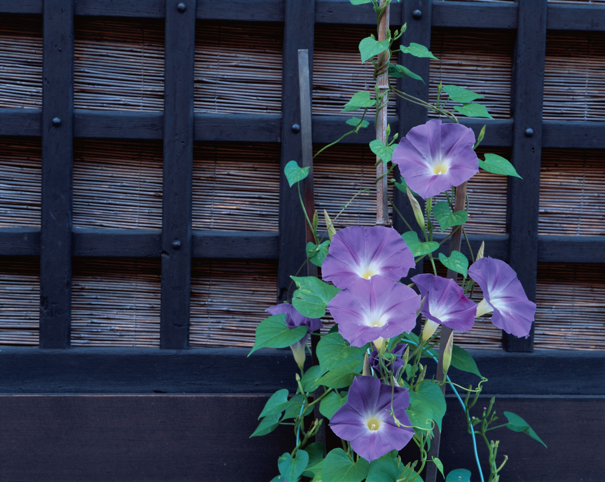 10 Great Annual Flowering Vines For Your Landscape