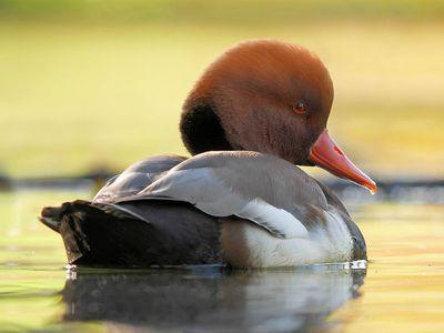 Ducks Do a Lot More Than Quack