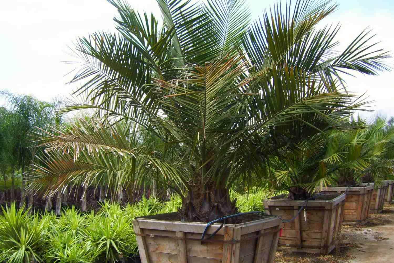 palmeras jubaea