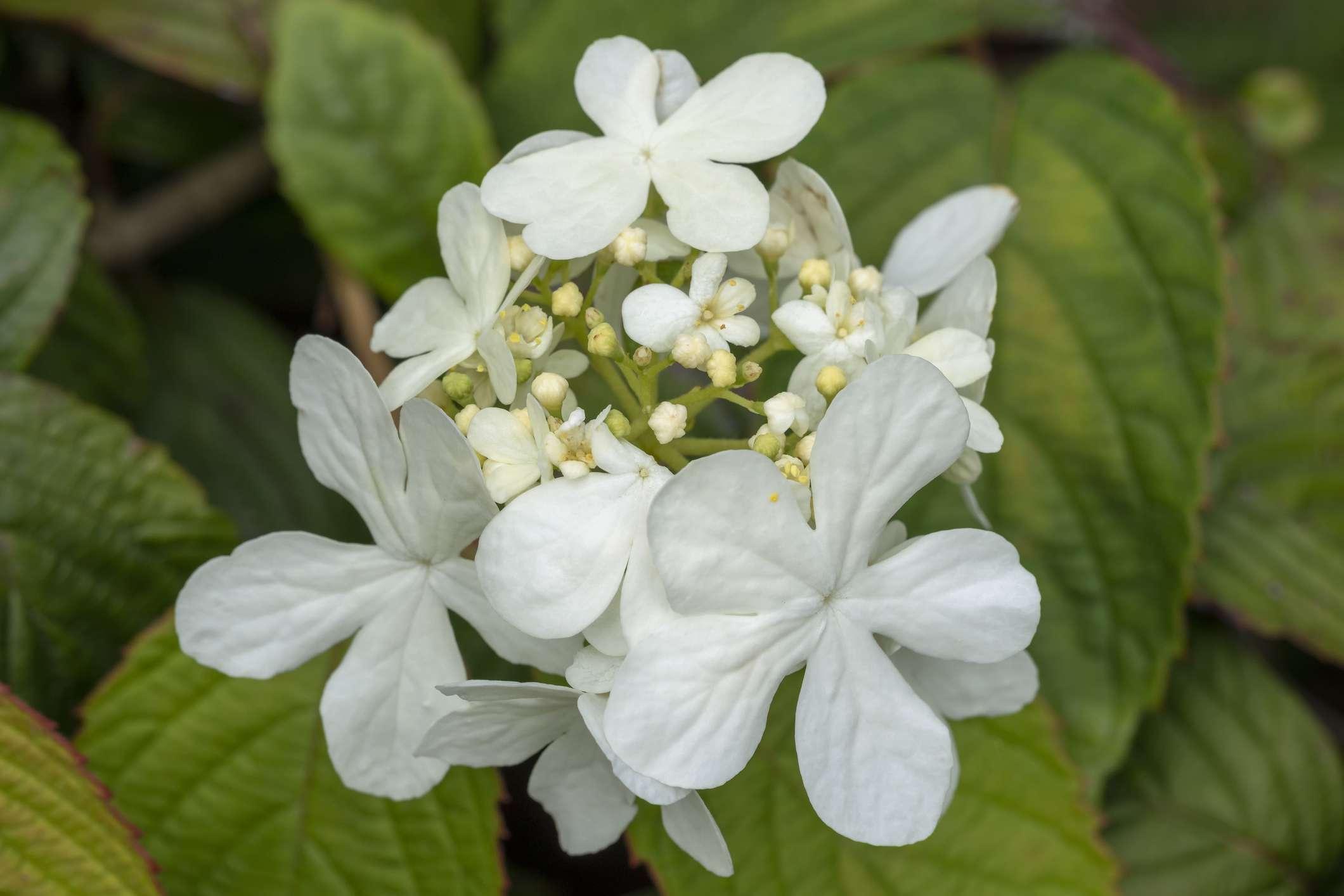 Viburnum plicatum Form tomentosum ' Shasta '