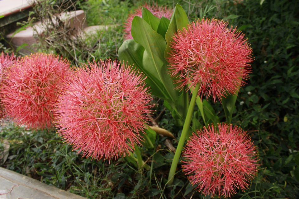 Blood lily (scadoxus multiflorus) plants in bloom