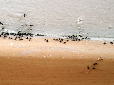 Ants crawling on a baseboard