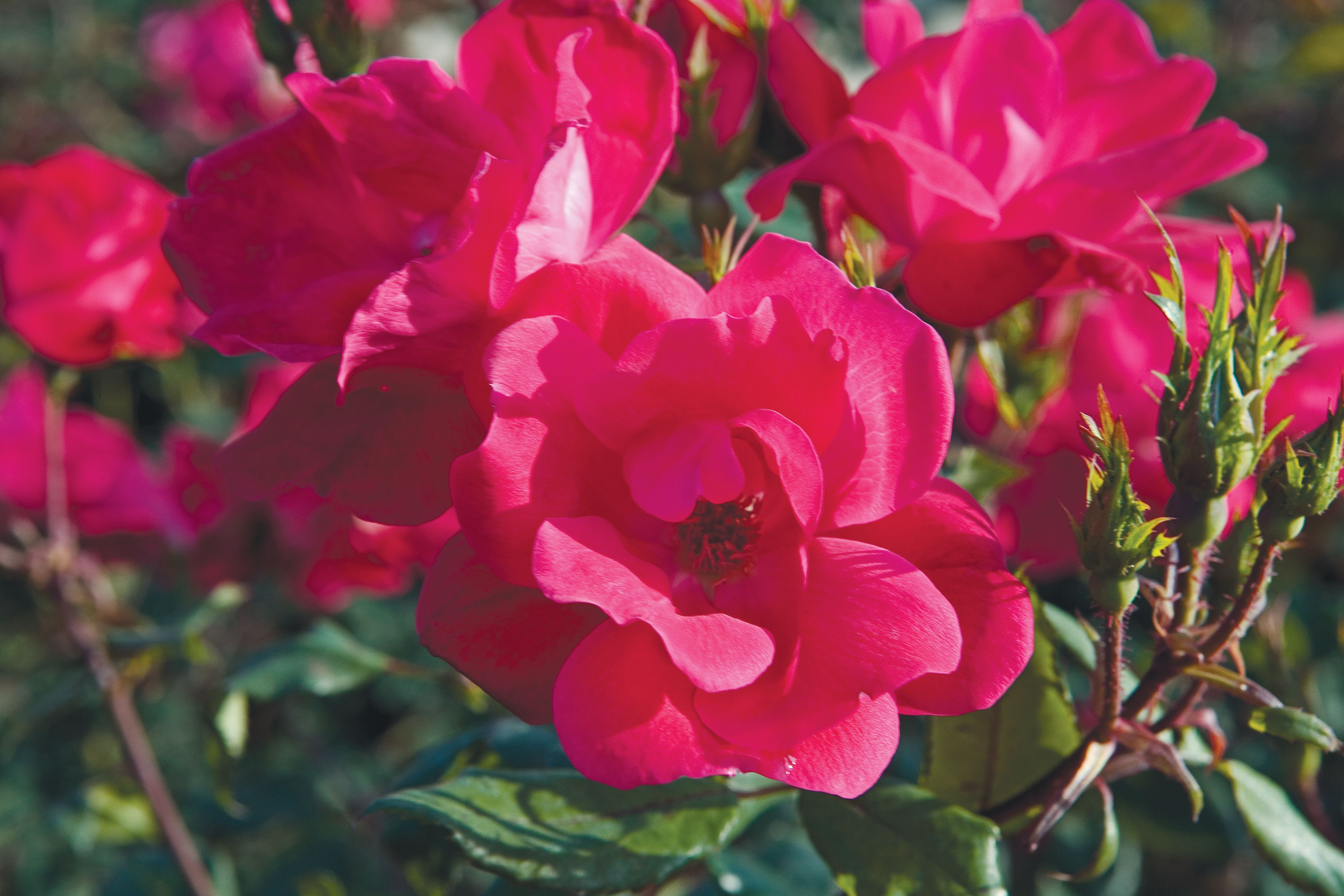 Knock Out 'Radrazz' roses