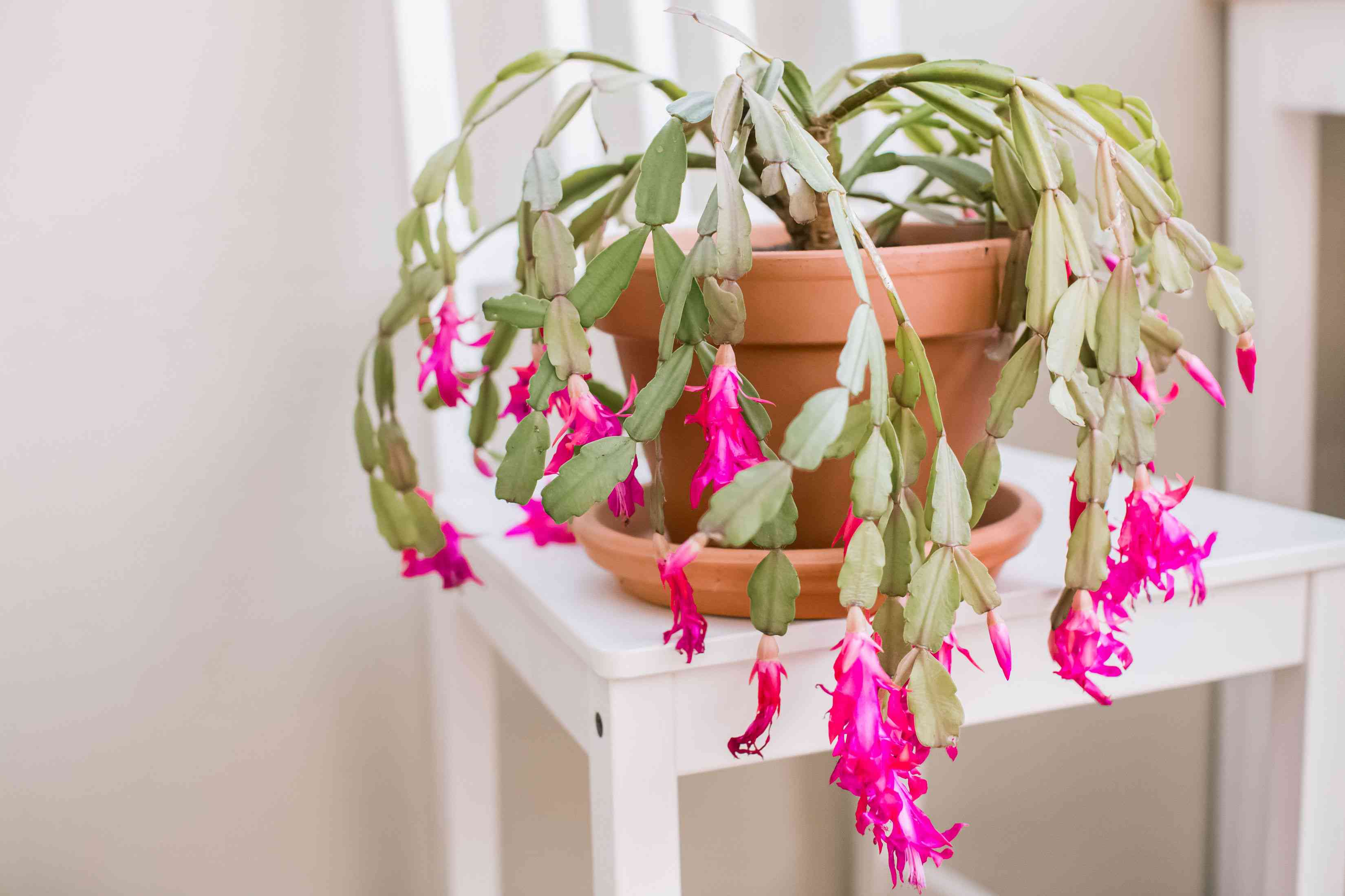 Christmas cactus in orange pot with bright pink flowers hanging on ends of segmented leaves