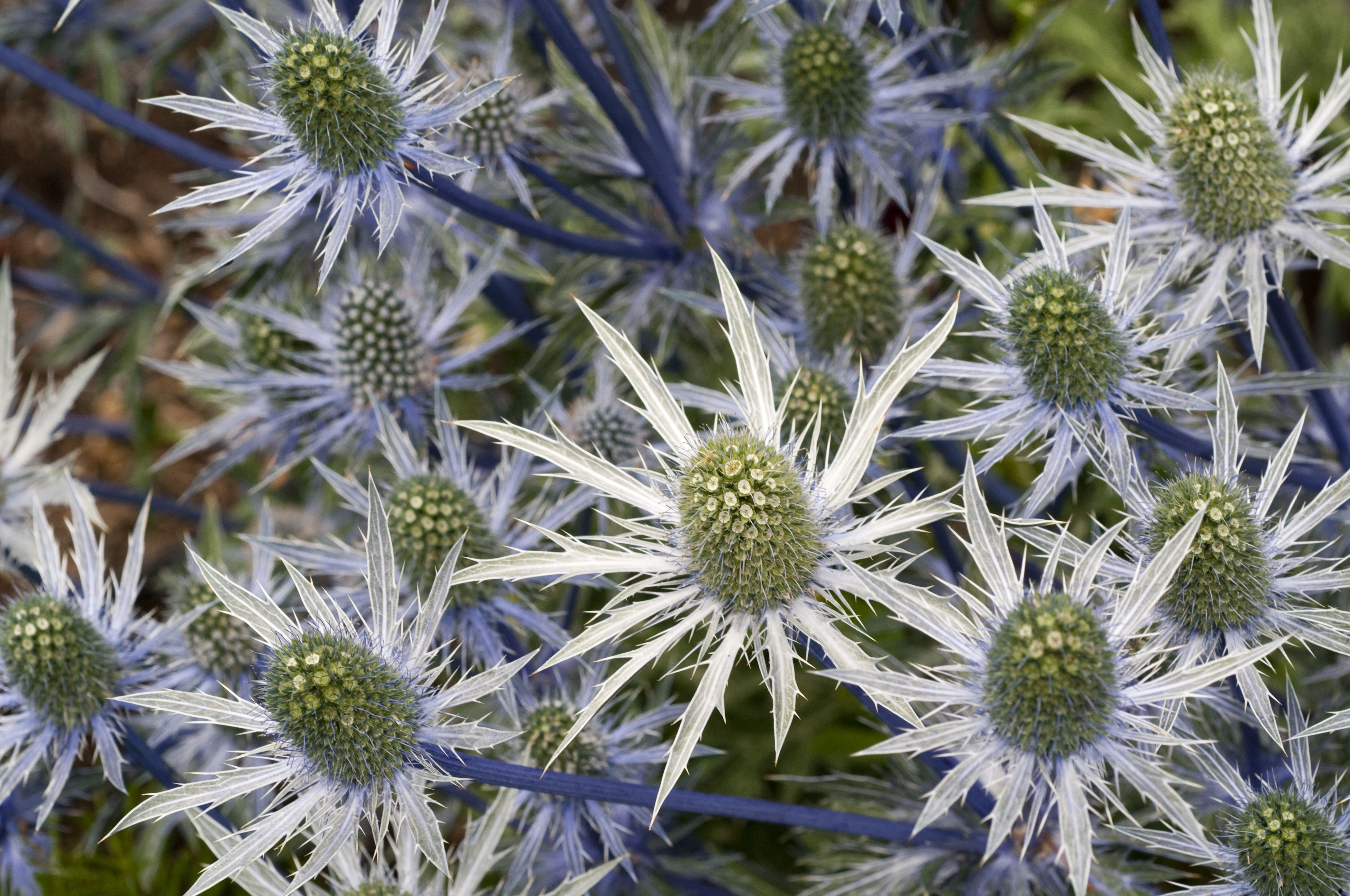 How to Grow and Care for Sea Holly Eryngium