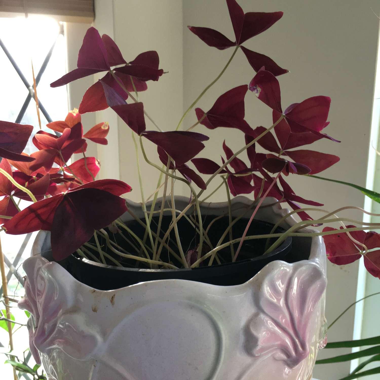 Oxalis house plant